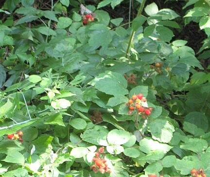 Cumberland Valley Rail Trail Raspberry Season You'll find oodles of raspberries along the trail and within reach.