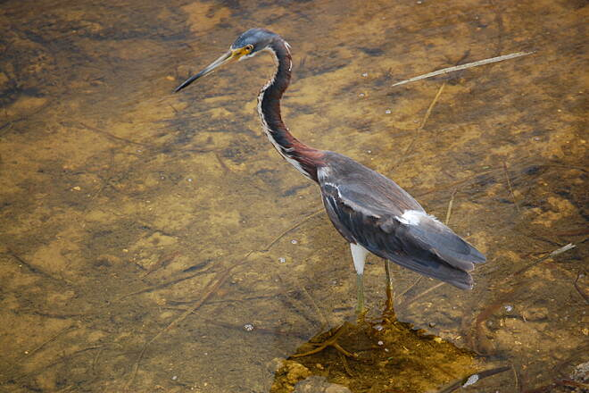 Cypress Creek Greenway Tricolored Heron There are several species of herons along the Cypress Creek Greenway, including this Tricolored Heron, pictured.