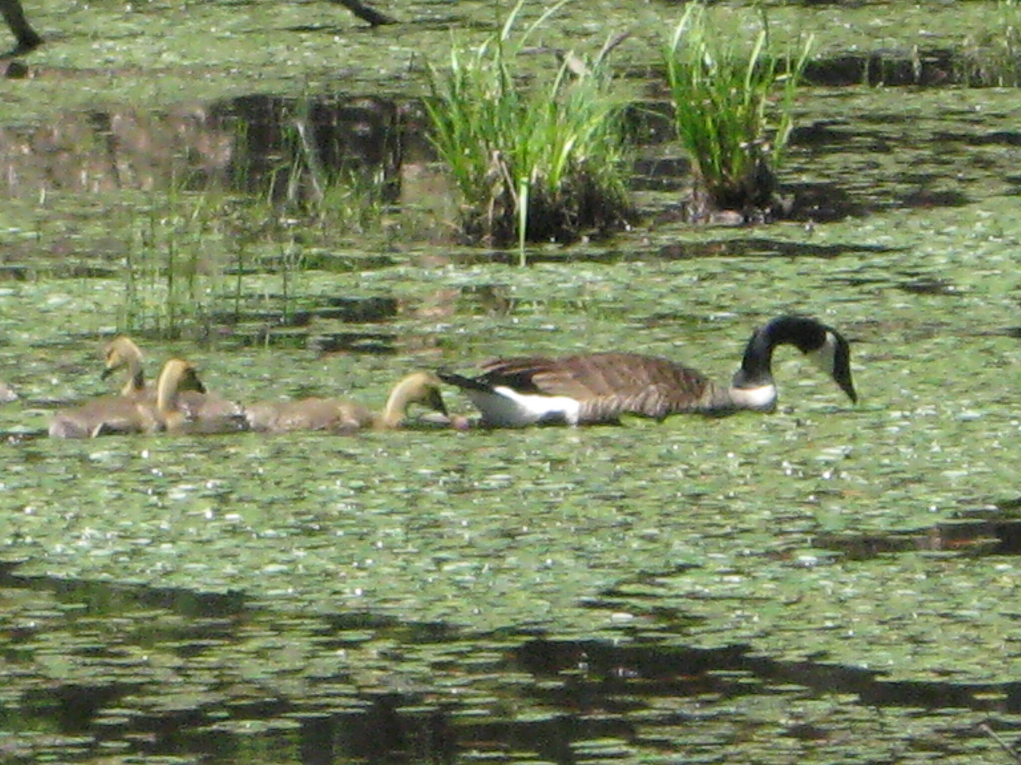 D & H Canal Heritage Corridor (O&W Rail-Trail) Mama & baby geese At the beaver pond between Hurley and Marcotte Rd.