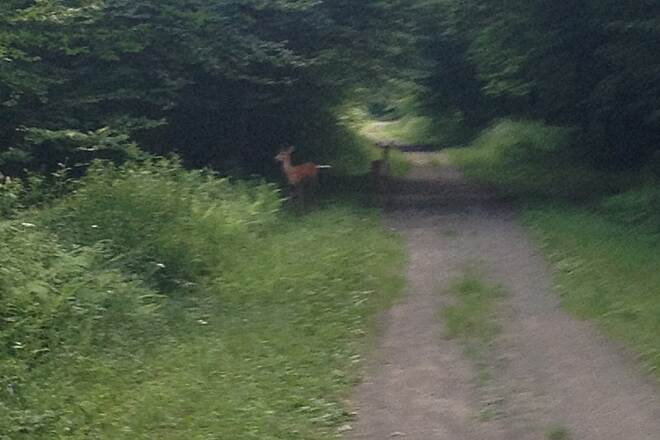 D&H Rail Trail more bambi pics