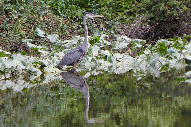 D&L Trail Blue heron in canal