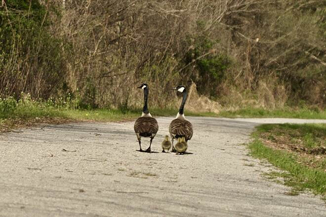 D&L Trail Goslings Sharing the trail.