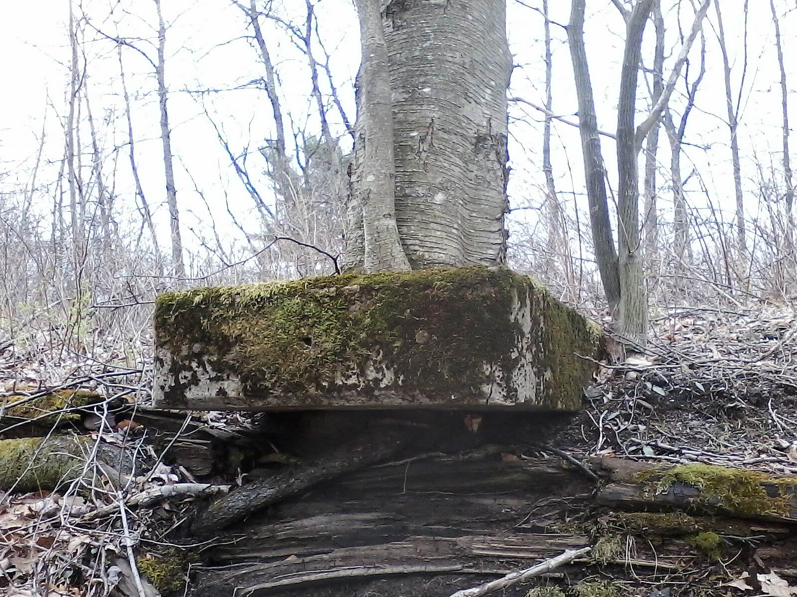 D&L Trail Interesting tree growth! Tree established its roots around some type of railroad facility structure.