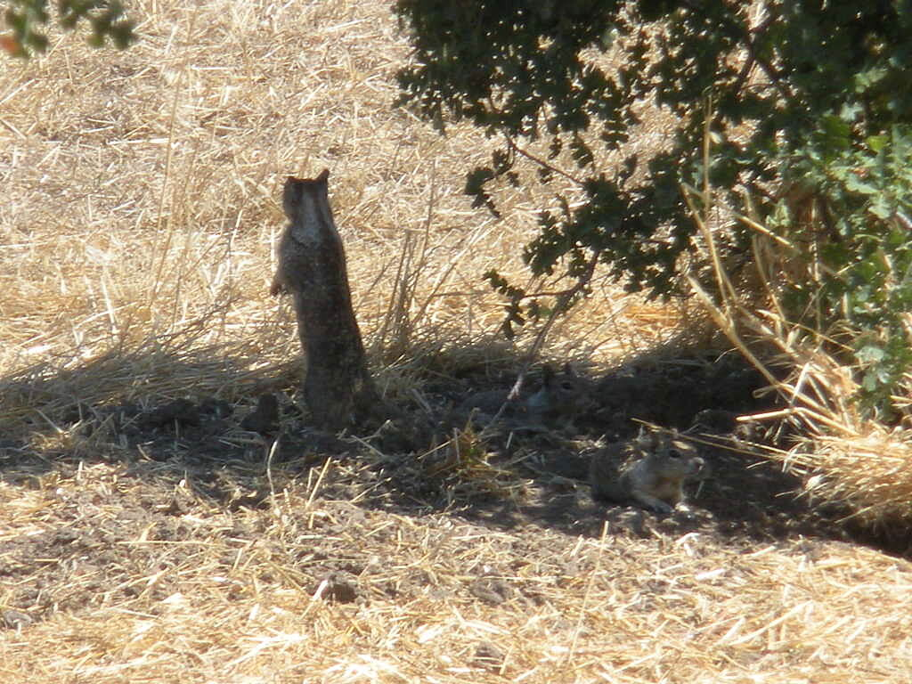 Dry Creek Trail (Modesto) drycreek ground squirrel squirrel