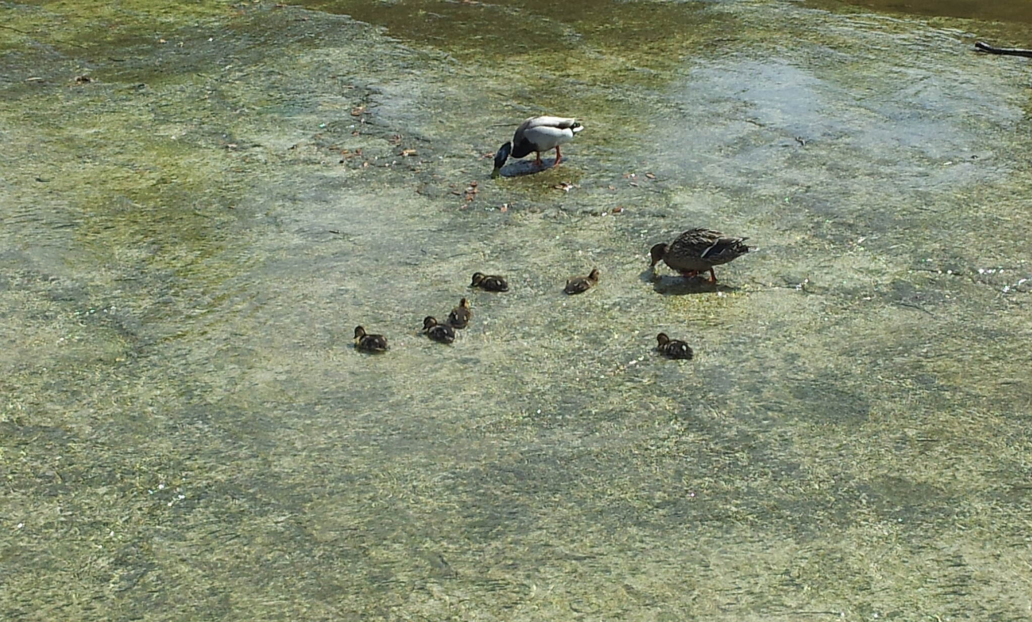 Duck Creek Trail (TX) ducklings