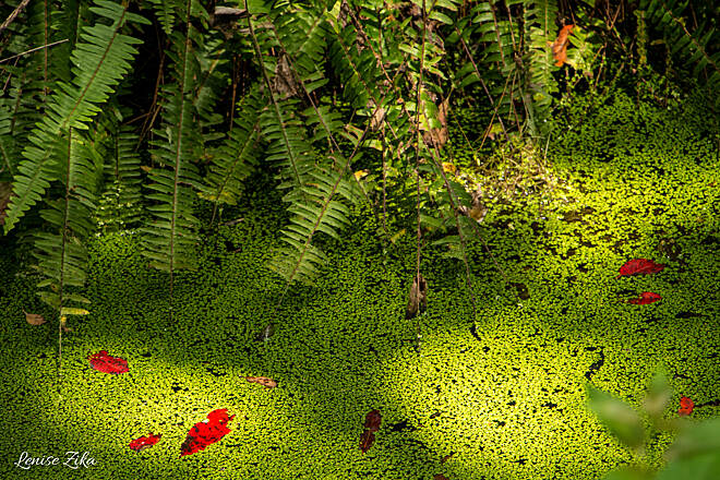 East Central Regional Rail Trail The Beauty of the Swamp A thick blanket of Duckweed covers the swamp along the trail - catching falling leaves to decorate its beautiful fluorescent green layer.