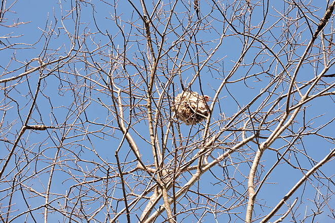 Elroy-Sparta State Trail Hornet's nest With the trees being bare I spotted this huge hornets nest high up in a tree a couple of miles away from tunnel 1.