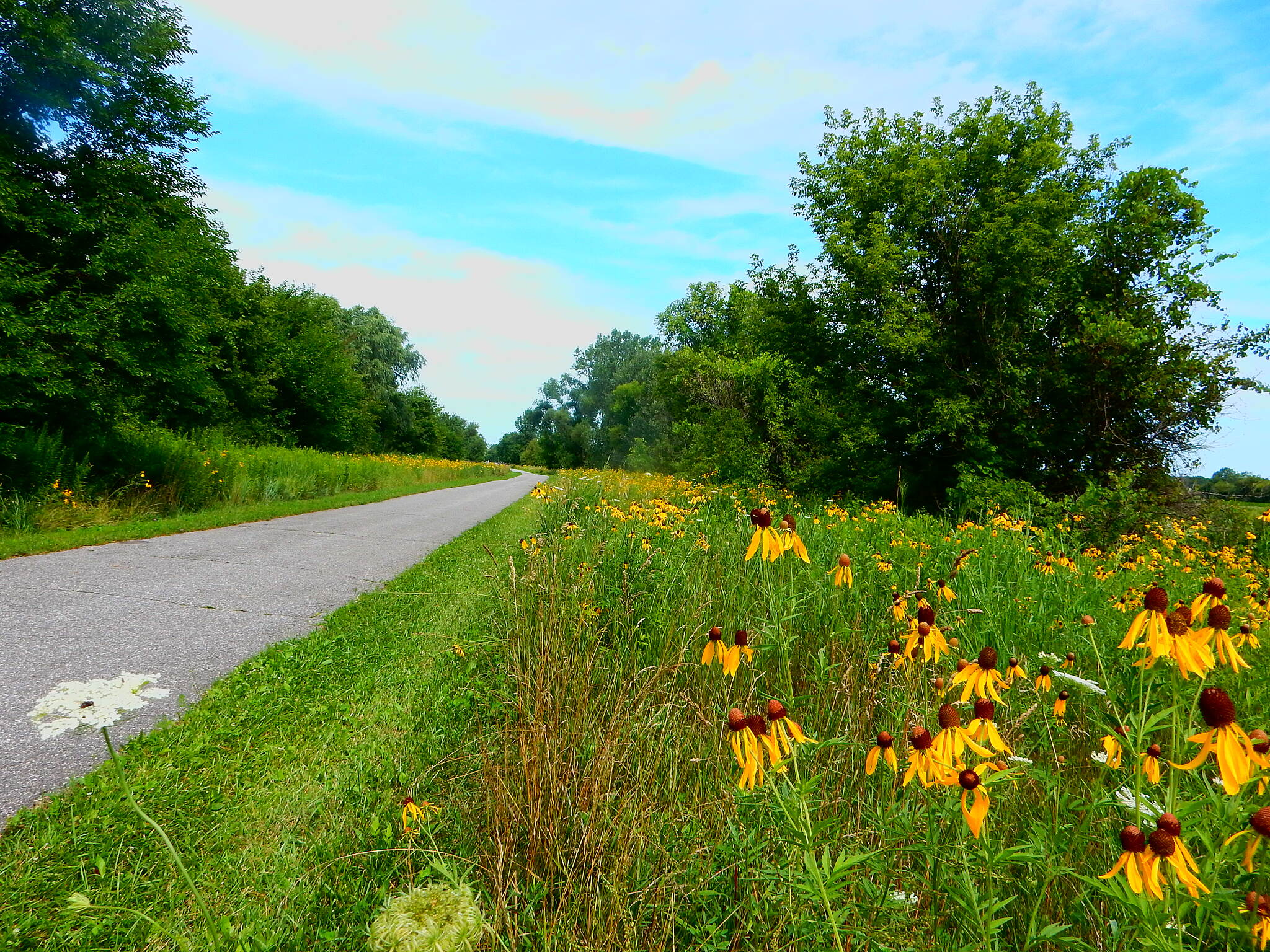 Erie Lackawanna Trail Summer flora 7-22-16 Good numbers of different types of flowers can be seen on this trail in the Summer, especially south of Griffith/Schererville.