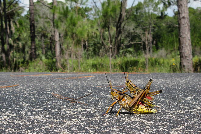 Flatwoods Park Trail Giant crickets!  Don't run us over!