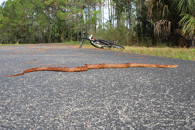 Flatwoods Park Trail Beautiful rat snake Harmless.  Don't run me over! :]