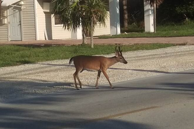 Florida Keys Overseas Heritage Trail Key Deer Big Pine Key