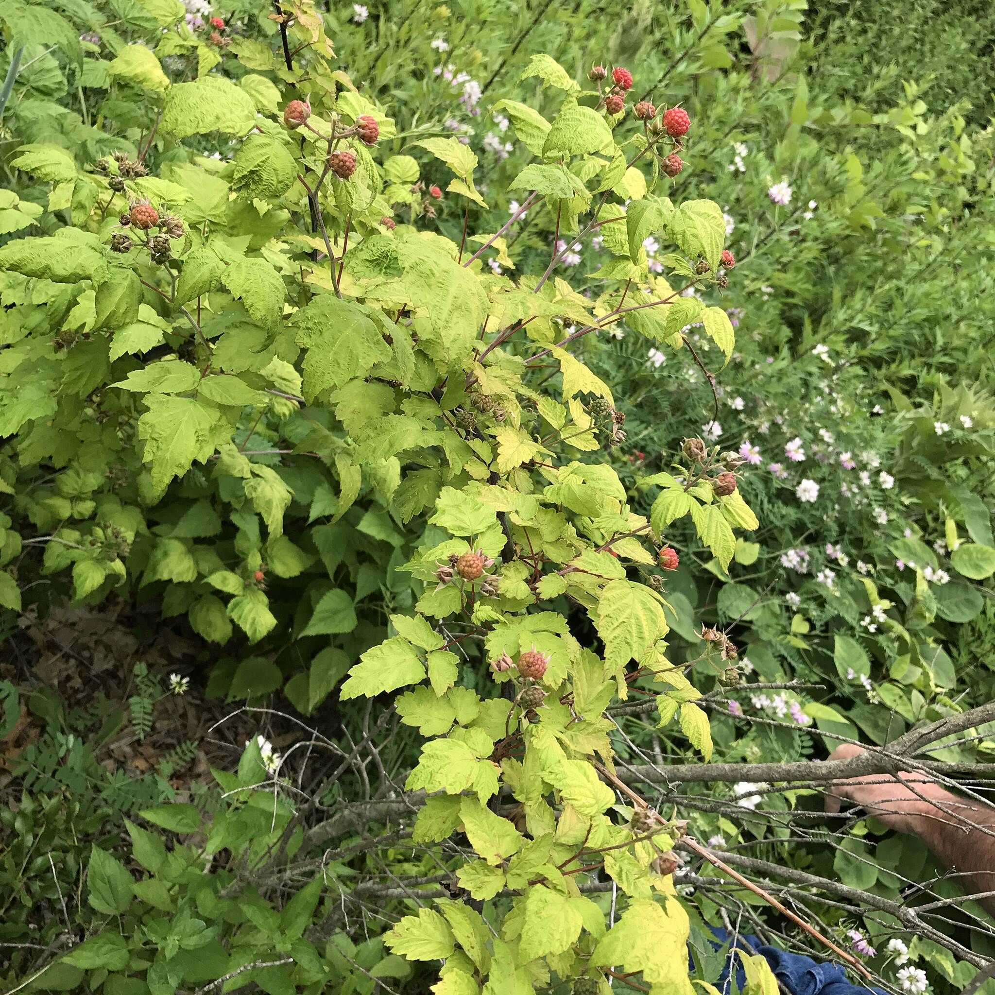 Fred Lippitt Woonasquatucket River Greenway Woonasquatucket Greenway  ( Raspberries ) Woonasquatucket River Greenway Providence Rhode Island