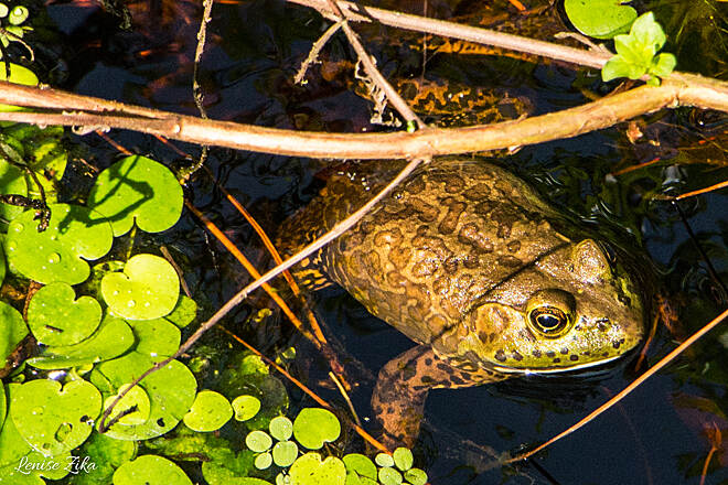 General James A. Van Fleet State Trail Bullfrog in the swamp Look a little closer and you'll see lots of creatures hiding in the swamp!