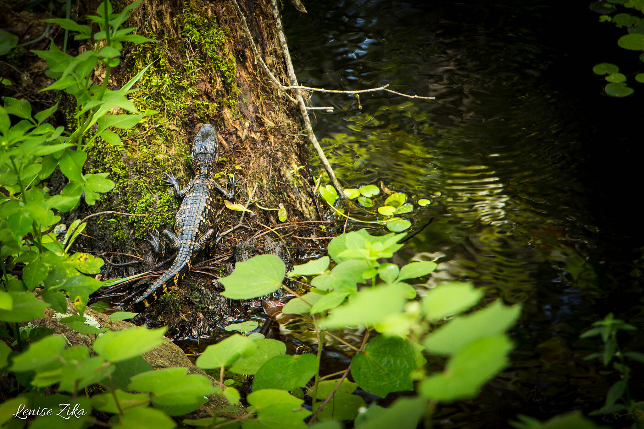 General James A. Van Fleet State Trail Baby Gator You really have to look closely to see who's blending in with their surrounding!