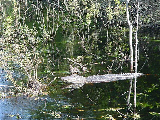 General James A. Van Fleet State Trail Alligator in the Green Swamp We've even seen them crossing the trail ahead of us!