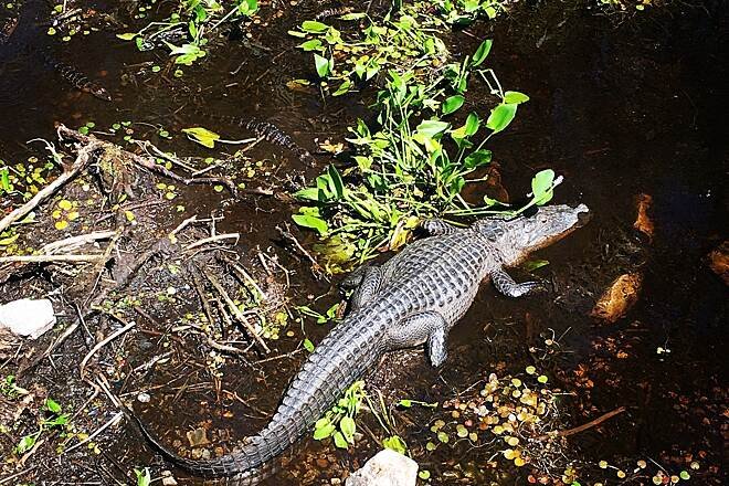 General James A. Van Fleet State Trail Momma alligator protecting about 10 kids Seen at the second of the Bridges up 2.5 miles north of Green Pond