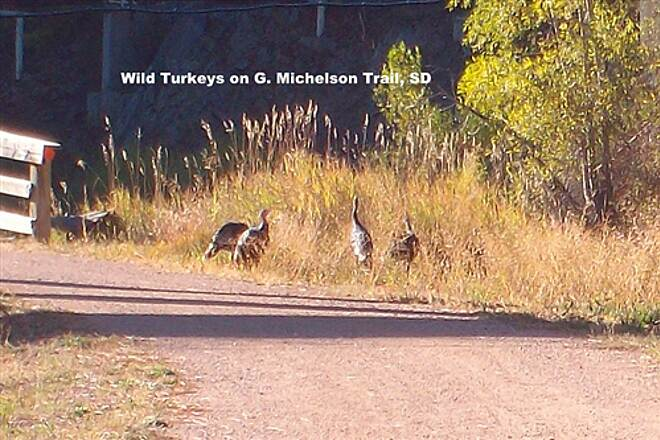 George S. Mickelson Trail George s. Mickelson Trail Wild Turkeys