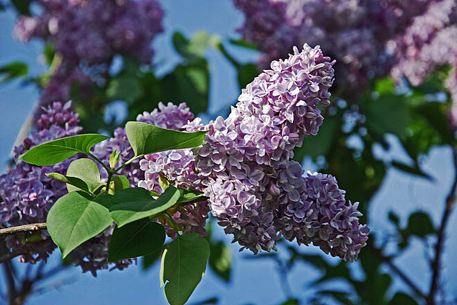 Goffstown Rail Trail Purple Lilacs Purple Lilacs have blossomed along the rail trail.