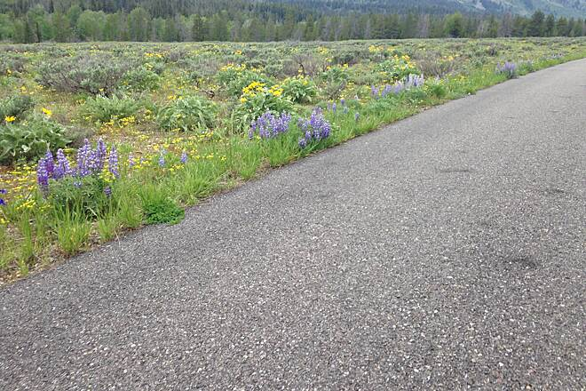 Grand Teton Multi-use Pathway Beautiful desert flowers
