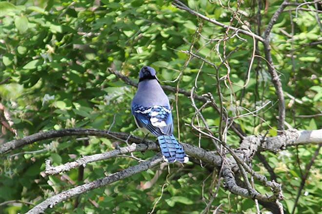 Grant Wood Trail (Jones County Segment) bird different veiw Love the colors on this Blue Jay. ¿