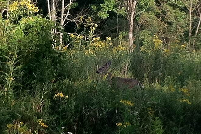 Great Allegheny Passage deer