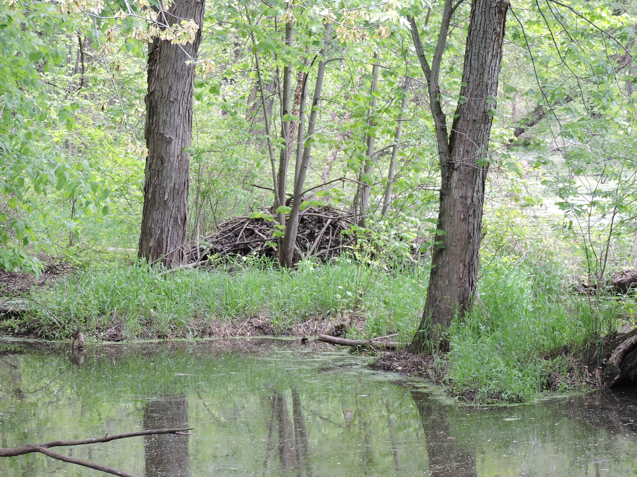 Great River State Trail beaver's home Easy to see from the trail is this large beaver house.