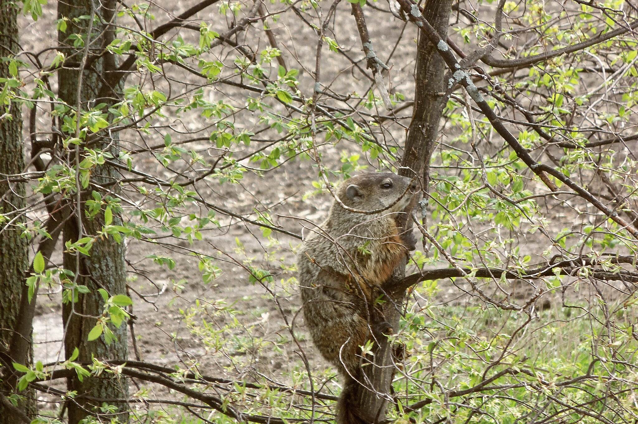 Harger Line Rail-Trail 5-30-2015 Harger Line Rail Trail, Woodchucks can climb trees. 5-30-2015 Harger Line Rail Trail, Woodchucks can climb trees.