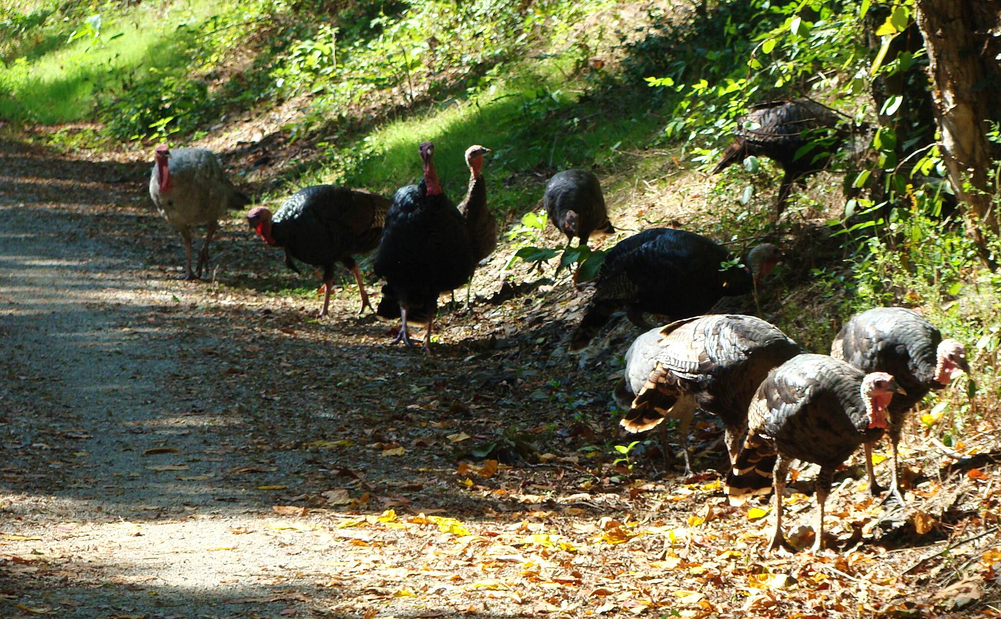 Heritage Rail Trail County Park Trail Birds, Mile 19 It was a beautiful day for a ride on 10/8/15 and there near the golf course even birds took to the trail. By birds, I mean turkeys.