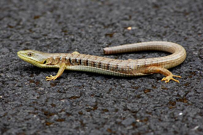 Historic Columbia River Highway State Trail Oregon Alligator Lizard getting some sun on the Hood River to Mosier bike path was an Oregon Alligator lizard.