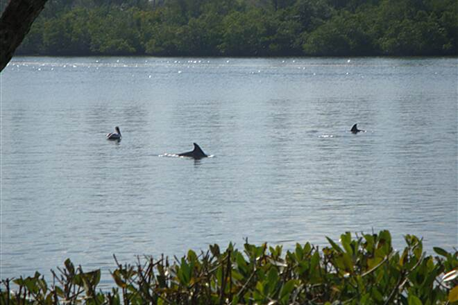 Historic Jungle Trail Dolphins Play in Indian River South Jungle Trail