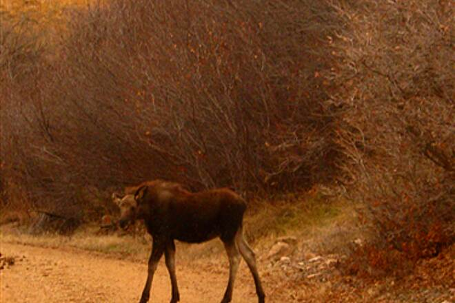 Historic Union Pacific Rail Trail State Park Young Moose Encountered a young moose on the trail near Waship.