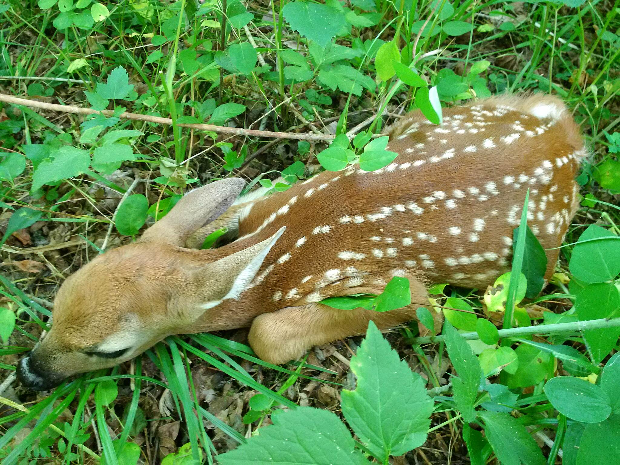 Hockhocking Adena Bikeway Fawn Must have JUST been born.  Not a foot and a half long.  Would not be disturbed.