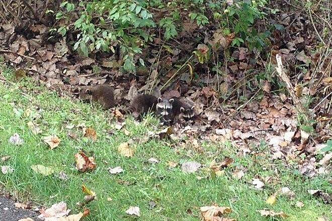 Holmes County Trail Baby Raccoons Little baby racoons