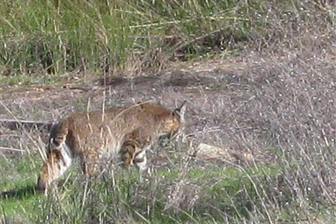 Humbug-Willow Creek Trail Bobcat Local residents report seeing this 'cat often
