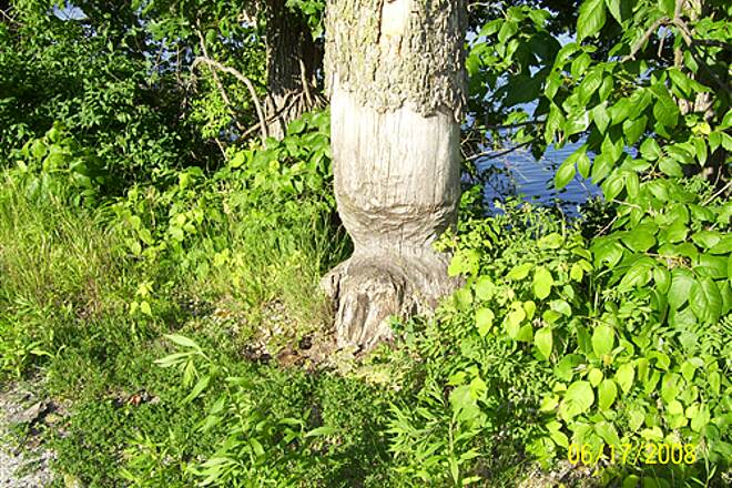 Illinois & Michigan Canal State Trail  Beaver work