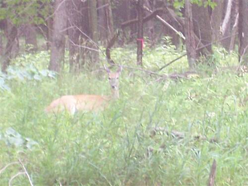 Illinois & Michigan Canal State Trail  nice doe along the trail. Saw a nice 12 point up a little farther