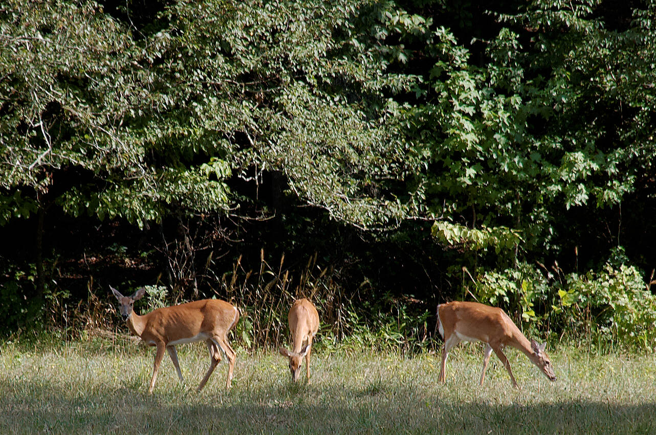 Indian Head Rail Trail Whitetail Deer on The Trail