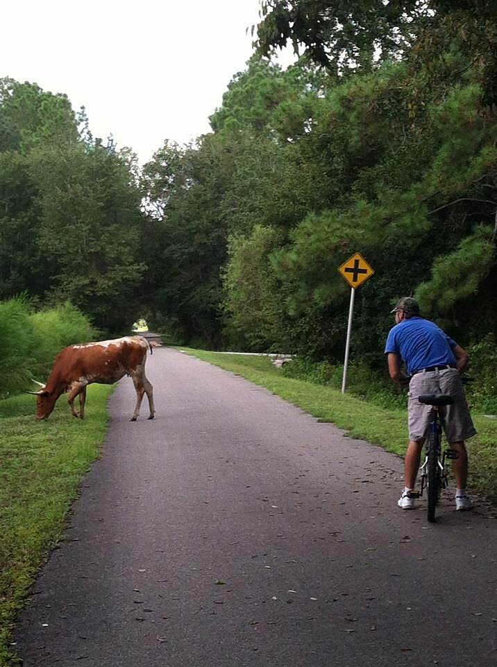 Jacksonville-Baldwin Rail-Trail excuse us Mr. Bull We encountered 2 free roaming bulls on the trail. Fortunately they had no interest in us!