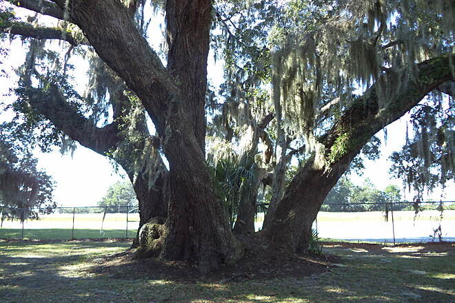 Jekyll Island Trail 200+ year old oak tree This tree was coppiced between 1740 and 1840, leading to the five trunks.