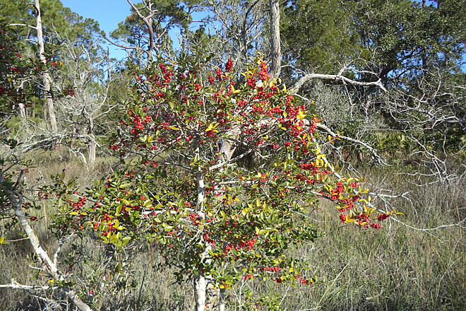 Jekyll Island Trail Berries Red berries in December by the trail.