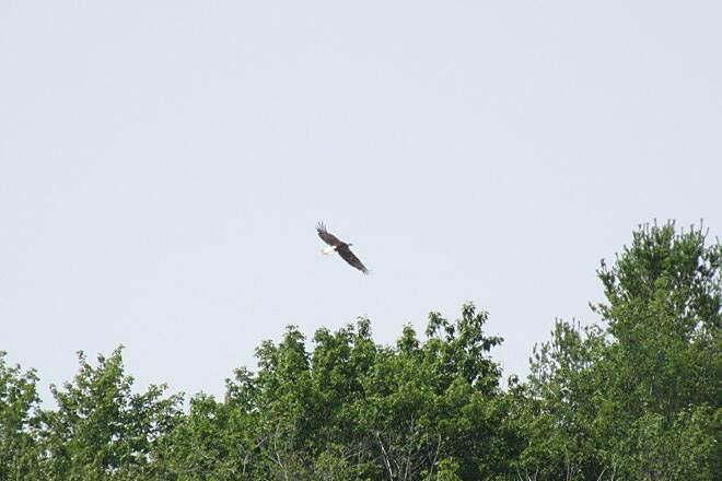 John C. Oliver Multi-Purpose Loop Trail Bald Eagle-July 2015 Bald Eagle lives in the marsh across from the Lake. July 2015
