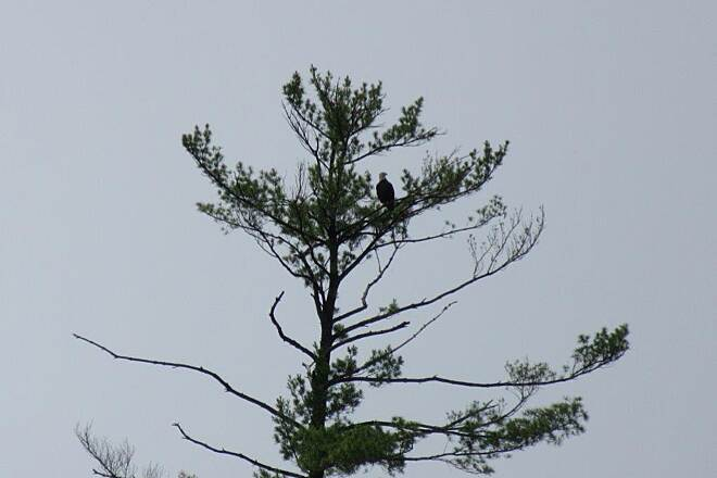 John C. Oliver Multi-Purpose Loop Trail July 2015-Bald Eagle Bald Eagle in a tree, July 2015