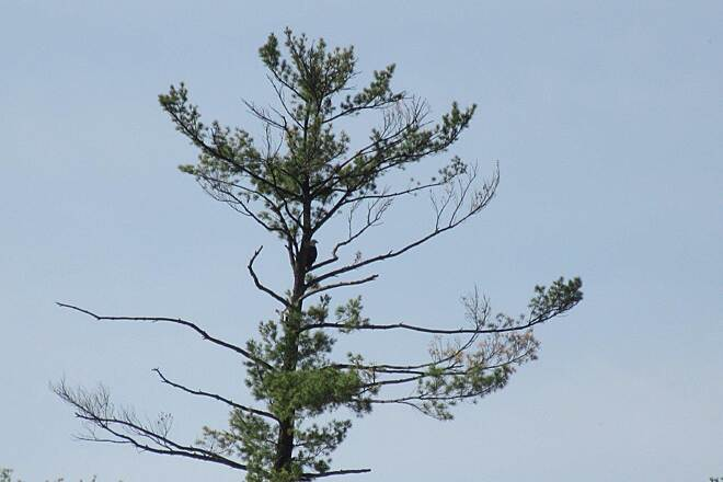 John C. Oliver Multi-Purpose Loop Trail the Eagle the Bald Eagle hangs out in a half dead pine tree across from the Marina entrance.