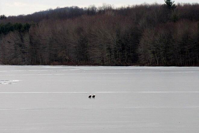 John C. Oliver Multi-Purpose Loop Trail Eagles on the ice Eagles on the ice, near the causeway