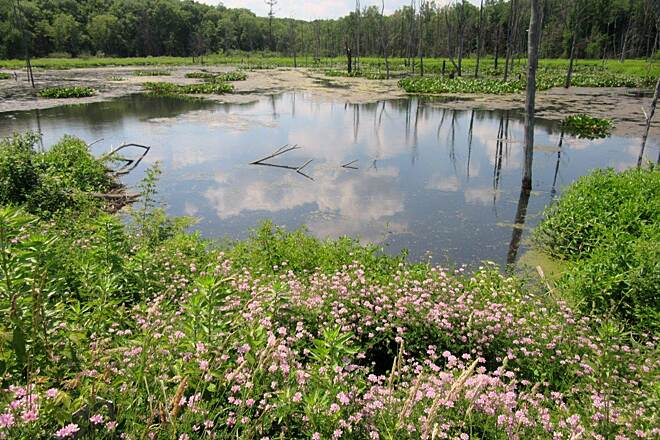 John C. Oliver Multi-Purpose Loop Trail Swampy pond near the eagles This is the area where one or more of the Eagles likes to hang out at.  Located across the road from the Marina entrance.