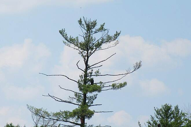 John C. Oliver Multi-Purpose Loop Trail Bald Eagle in the tree This bald eagle likes to hang out in this half dead pine tree.