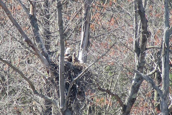 John C. Oliver Multi-Purpose Loop Trail Eagles Nest-Spring, 2017 Eagle nest with mama (or papa) and 2 Eaglets.  Spring, 2017.