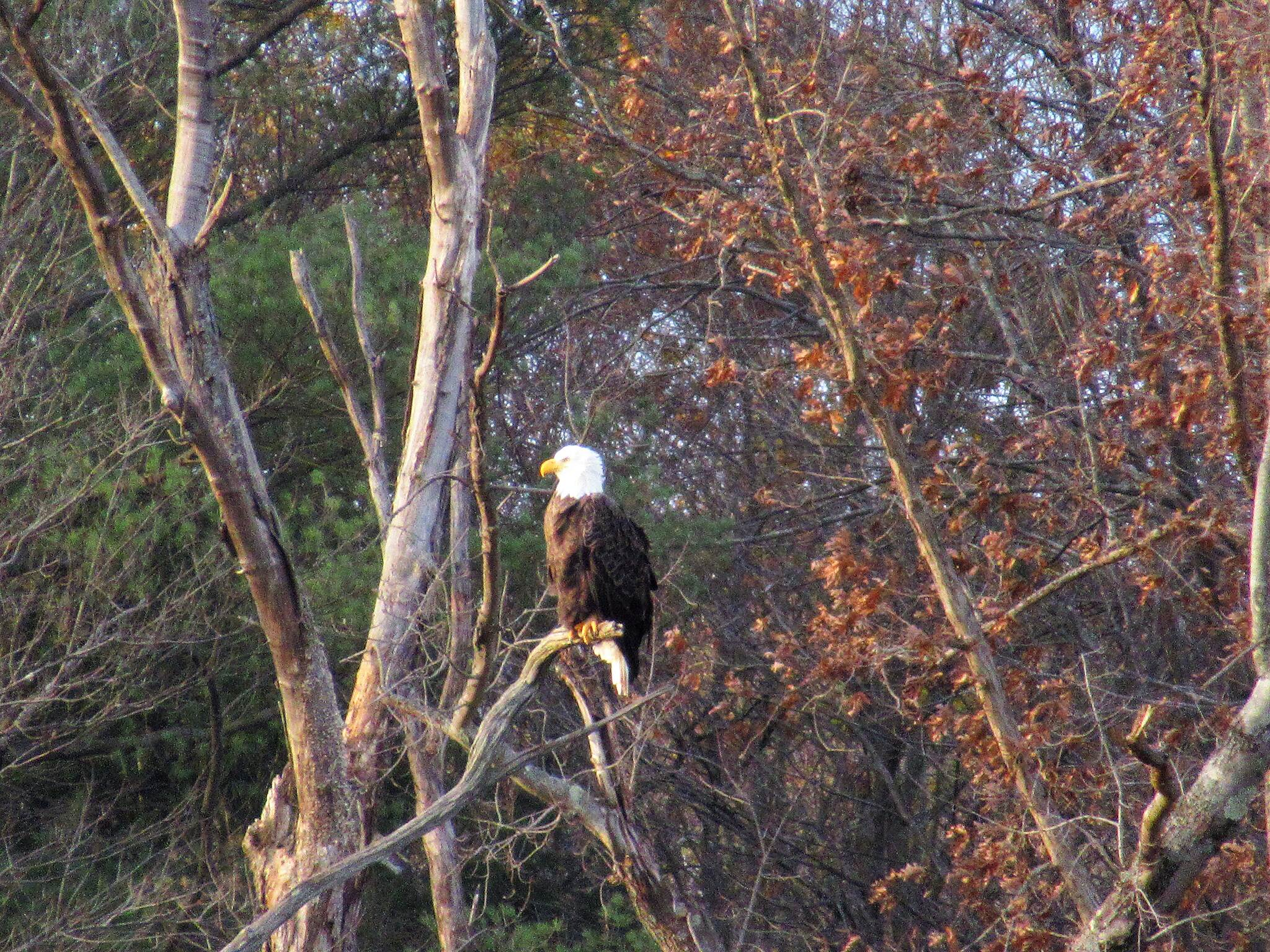 John C. Oliver Multi-Purpose Loop Trail Bald Eagle-November 2018 This bald eagle was spotted along the causeway just above the swampy area.