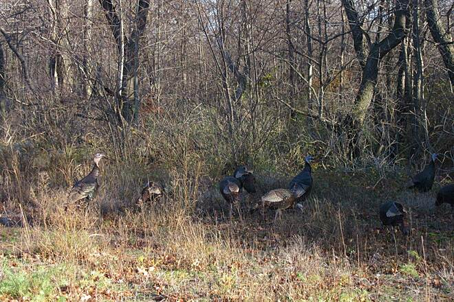 Karl Boyes Multi-Purpose National Recreation Trail Turkey. A flock of turkey along the trail