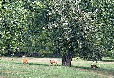 Katy Trail State Park Wild life Three Deer just about 2 miles above Boonville.